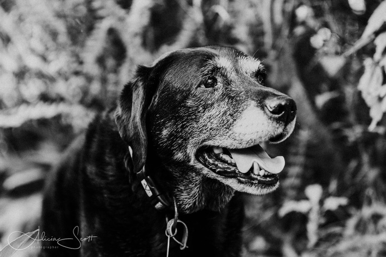 Black and white image of Kezzy the black labrador taken by Alicia Scott Wellington pet photographer
