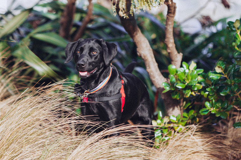 Image of a black Labrador Kelpie in long grass taken by Alicia Scott Dog Photographer