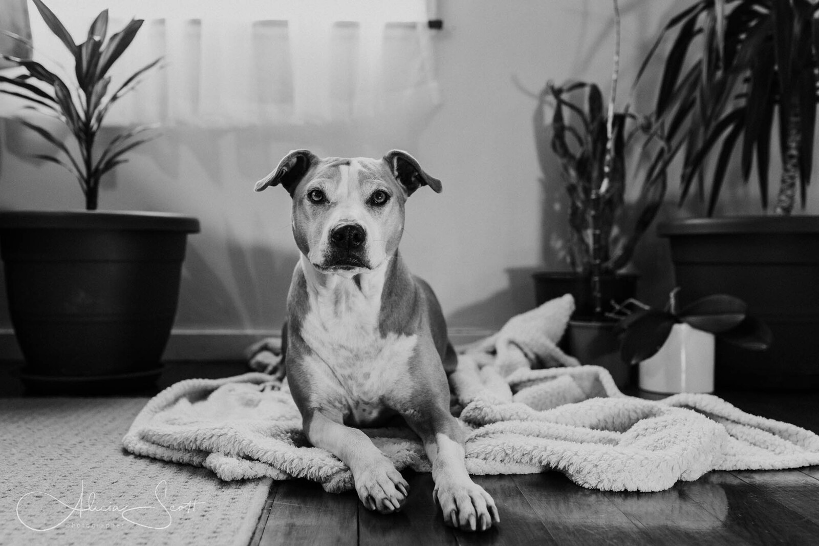 Black and white photo of Gurle - a pit bull cross - taken from a combined cat and dog photo session taken by Alicia Scott Hutt Valley and Petone pet photographer