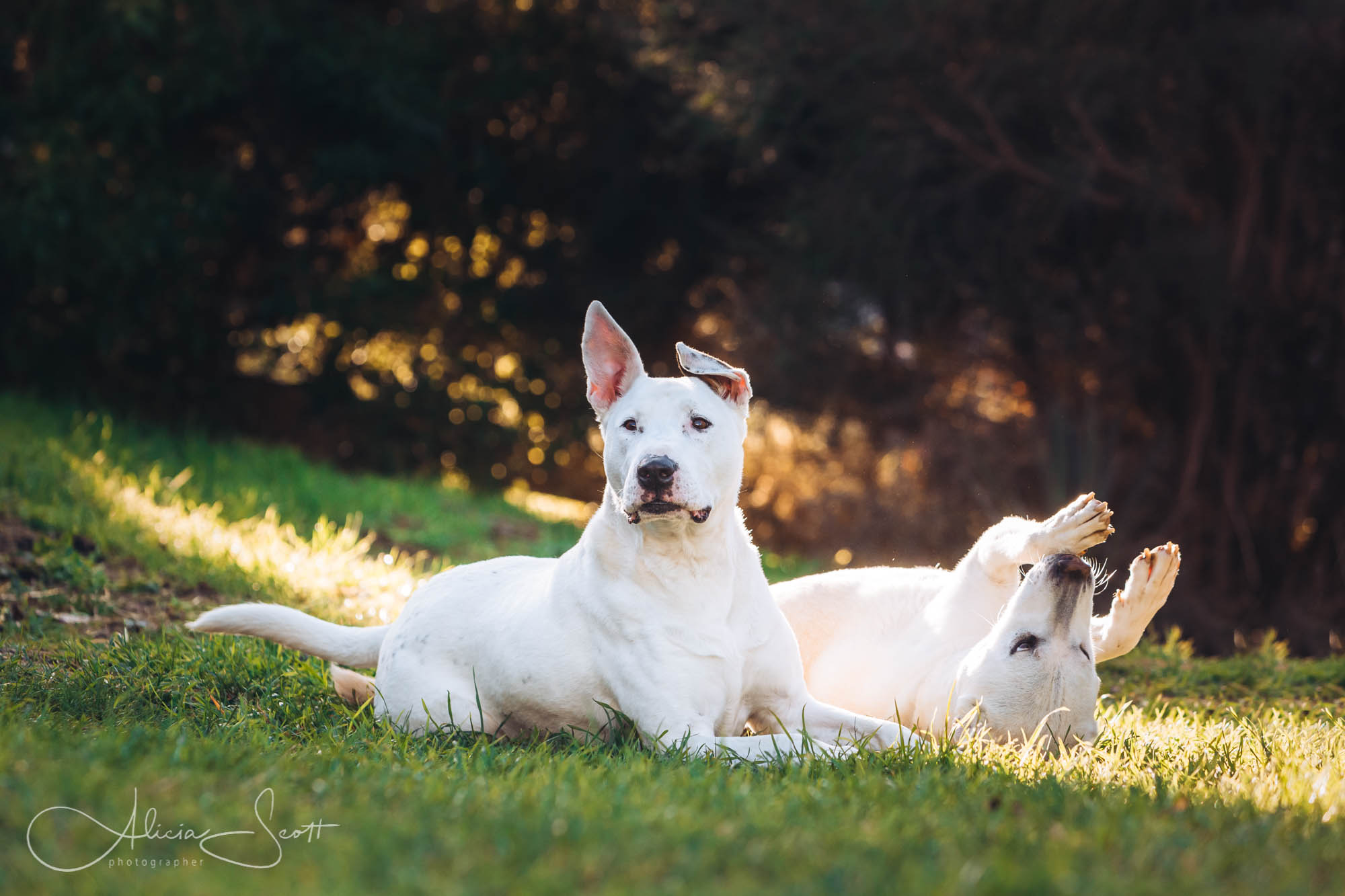 Image of English Bull Terrier Cross and Husky Shar Pei taken by Alicia Scott Wellington and Hutt Valley pet photographer